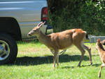 Whitetailed Deer by TaionaFan369