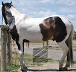 Pinto / Mustang / Stock 2