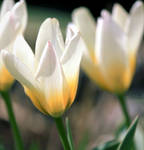 Tulips have a good life