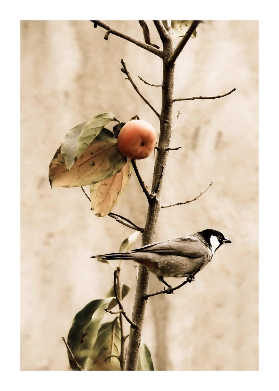 This little persimmon not alone by 13601357