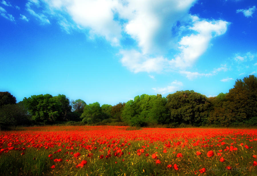 Fields of poppies by NumericArt