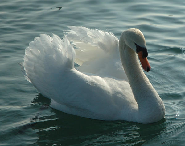 Stock - Swan 2 by Cleonor