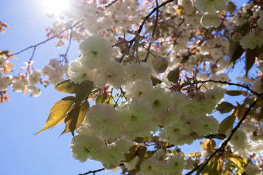 Under the cherry tree by rocksau