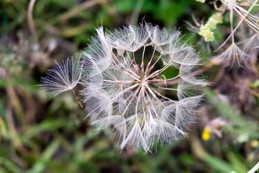 Big dandelion by rocksau