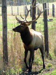 Elk by JewelsStock