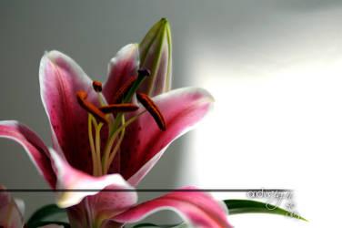 Lilium Megalanthum