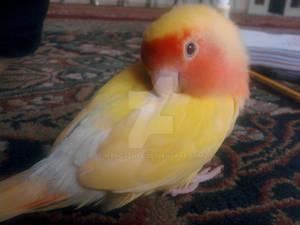Sunny The Lovebird