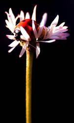 ladybug on daisy by h3-r3