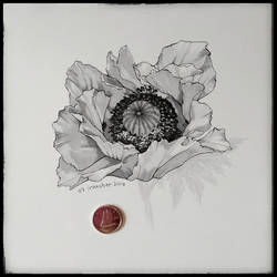 Inktober 07 - Oriental Poppy