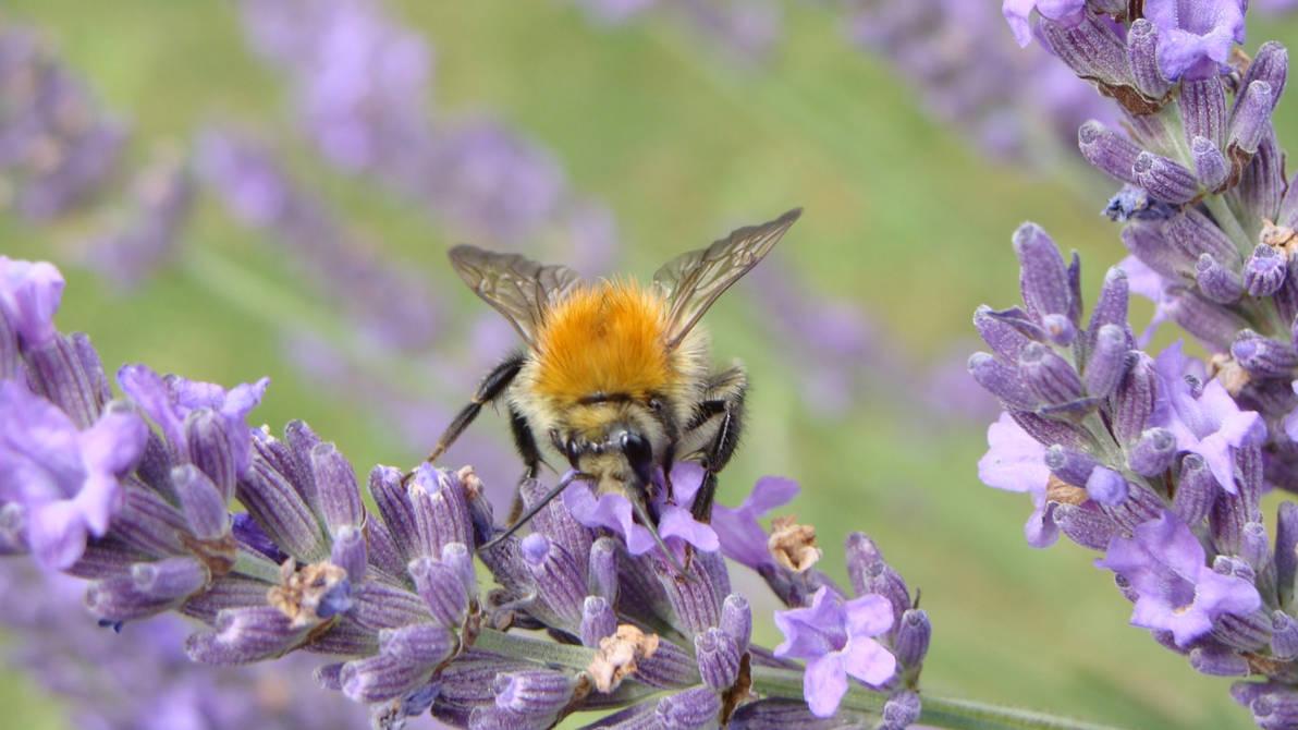 Bee on Lavanda