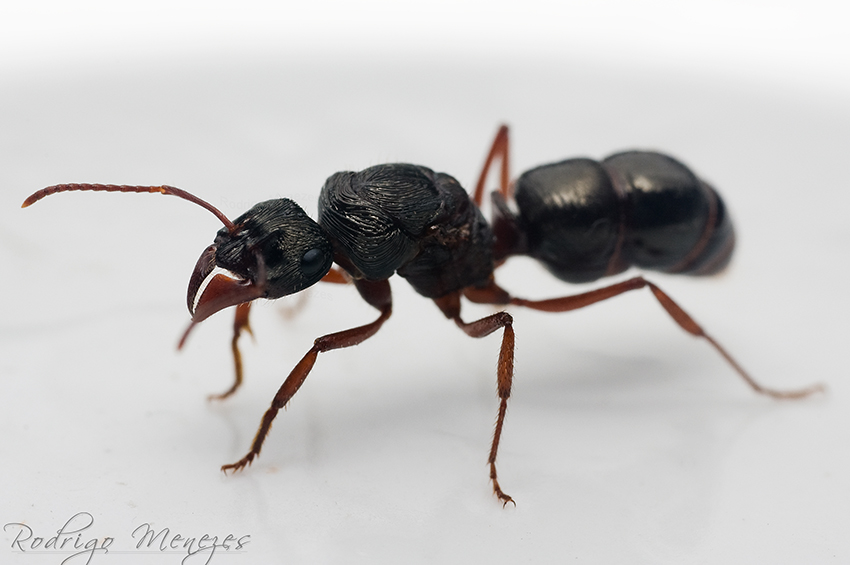 Big Ant by ironmanbr