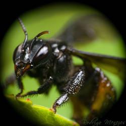 Trigona Bee Portrait I
