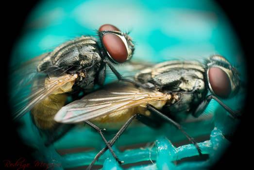 Sexy Flies