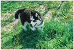 Husky Pup II