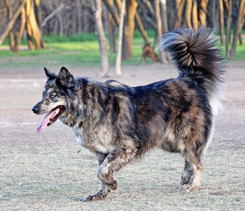 Brindle Australian Shepherd | Dog Breeds Picture