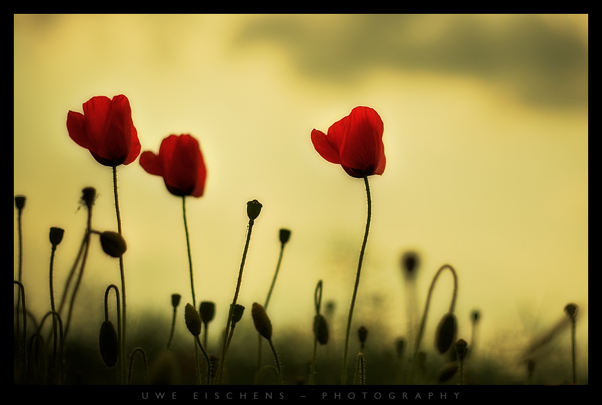 Poppy by Crossie