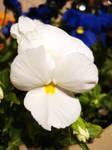 Pansy White by raviolirose