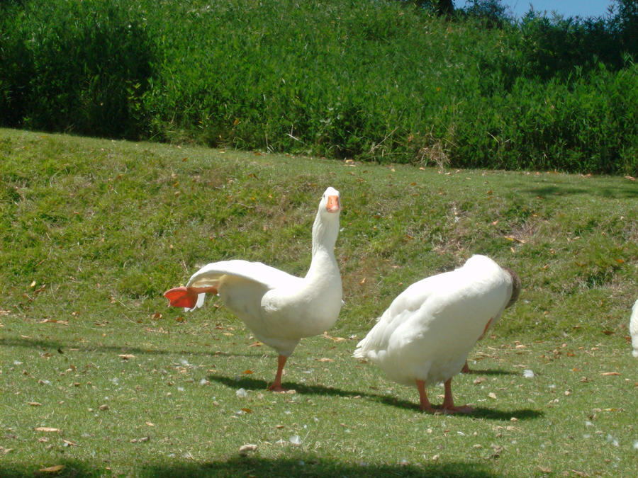 Funny Goose by elbicho...
