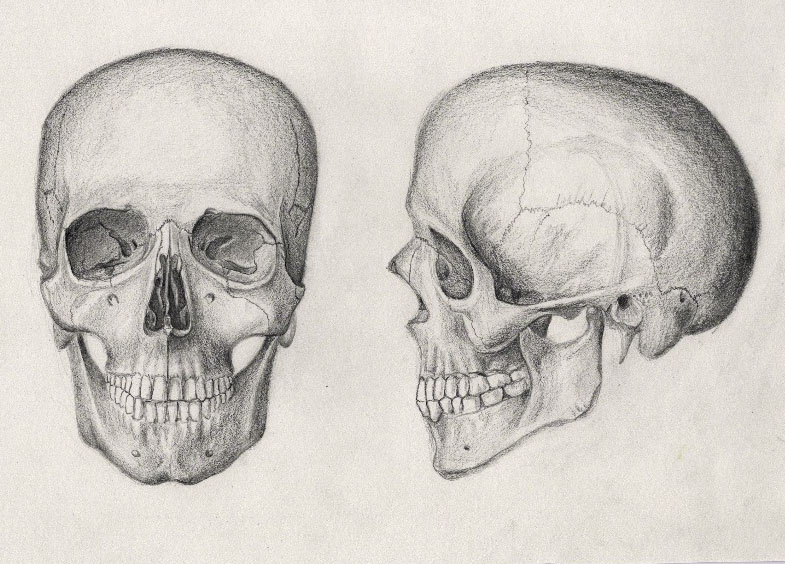 pencil drawing of a human skull by mrpete103