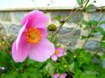 Wild Rose Bloom