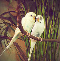 my new budgie by ftourini