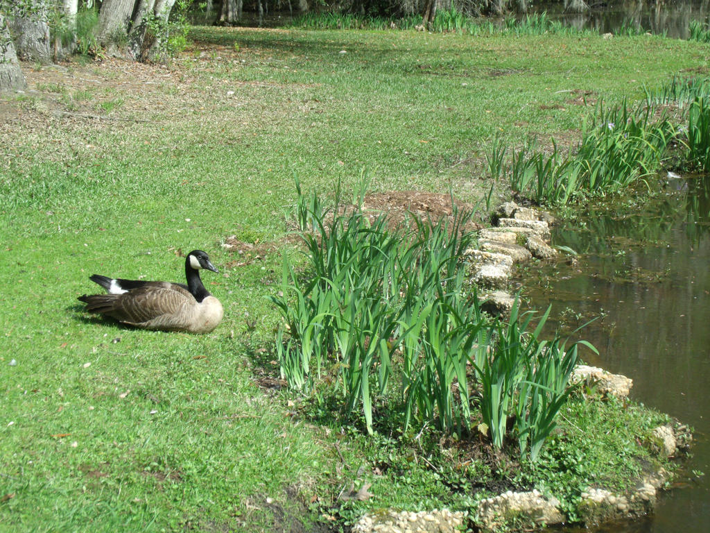 Goose near the water