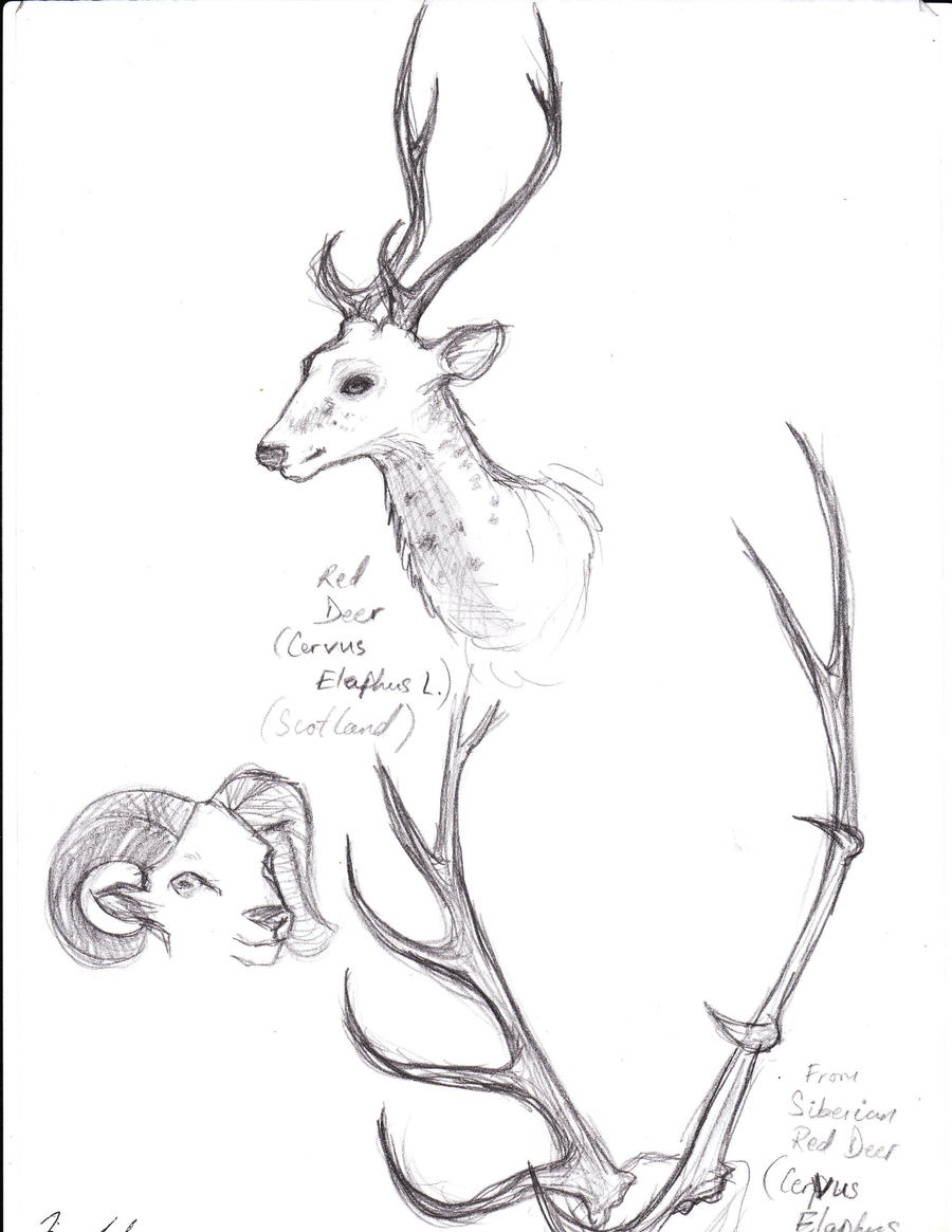 Animal Study-Deer and Antlers by EfMourn on DeviantArt