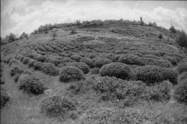 tea field by echoSuicide