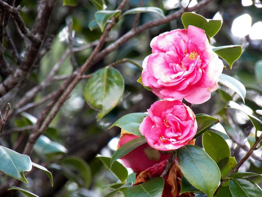 Pink flower in the tree by henriqueamagioli on deviantart pink flower in the tree by henriqueamagioli mightylinksfo Gallery