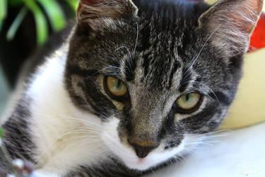 My cat Hector 3 by Diego-Suarez