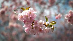 Cherry Blossom by Diego-Suarez