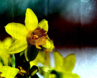 Daffodil by density-tmr
