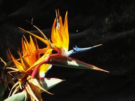 Bird of Paradise by iluvhorsez-25