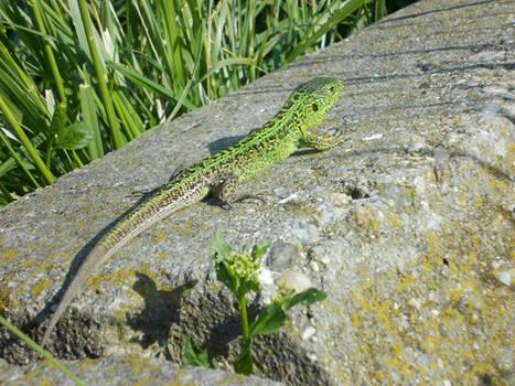 European Green Lizard #1