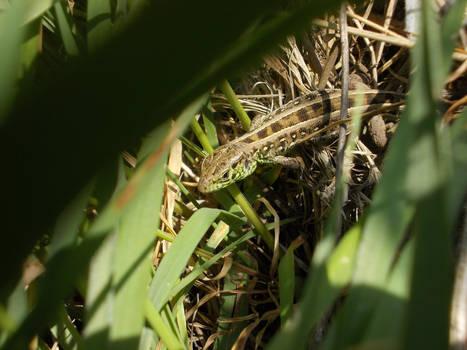 European Green Lizard #2