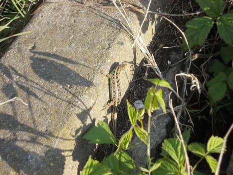 European Green Lizard #5