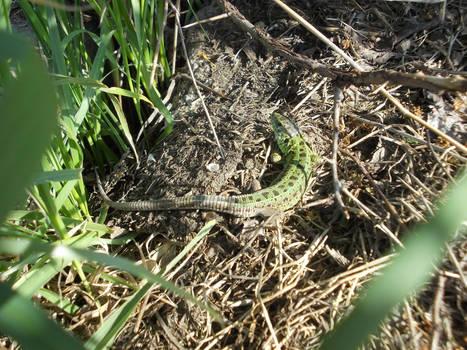 European Green Lizard #8