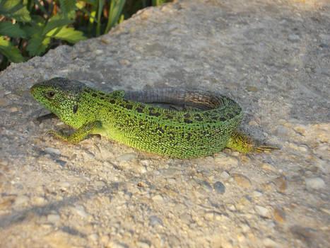 Chillest lizard I've found so far.