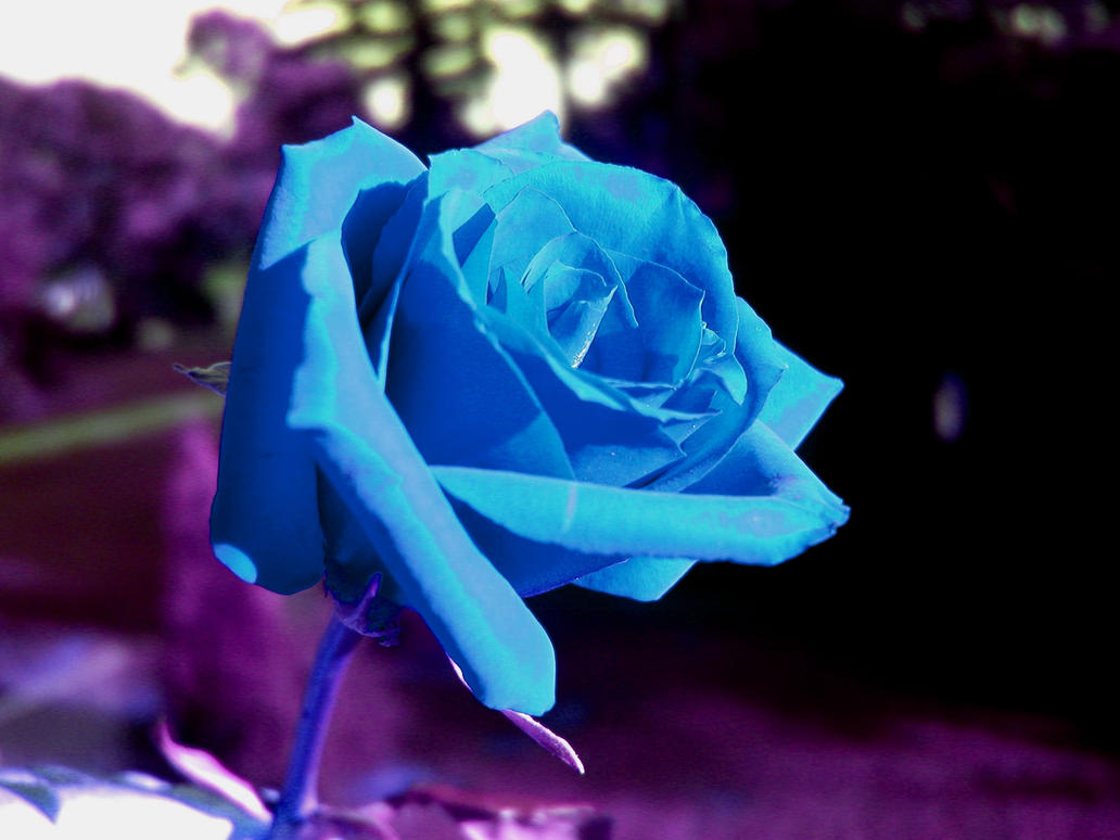 Blue rose by anglesdevil