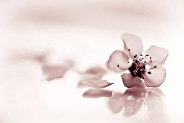 Sakura by ArgentumChloride
