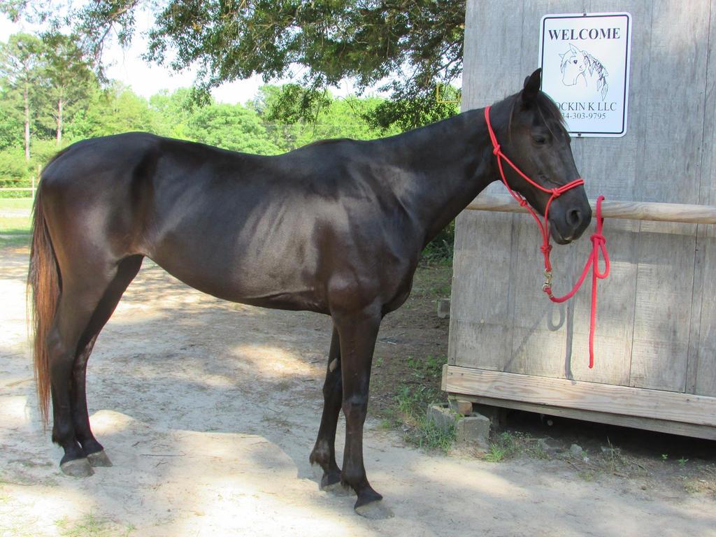 Horse Stock --- Black Tennessee Walker Standing by ComatosePrincess