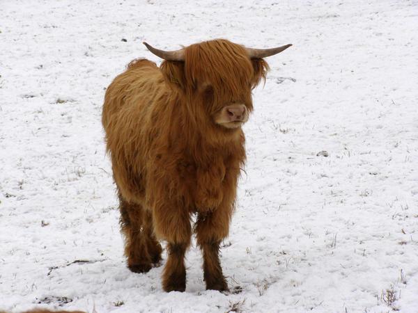 Scottish Highland Cow by Interna