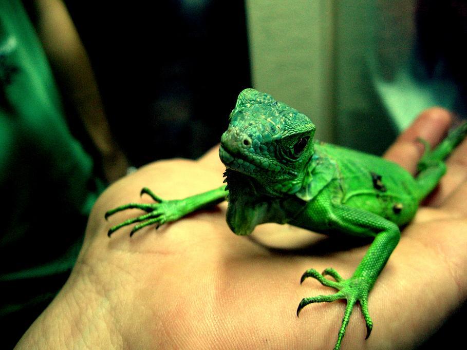 iguana by shapsigramazan