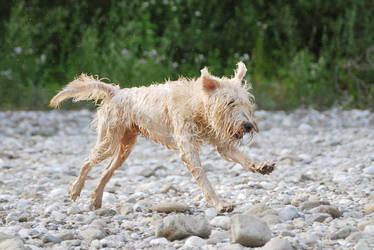 wet dog running