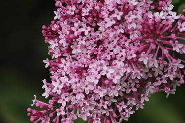 Red Lilacs