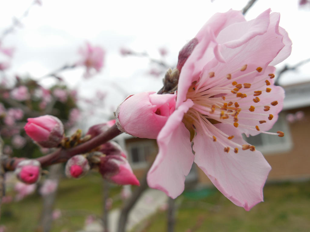 Peach Tree Blossom With Buds by shadowXwolf113 on DeviantArt