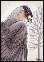 ACEO Cooper's Hawk by SageKorppi