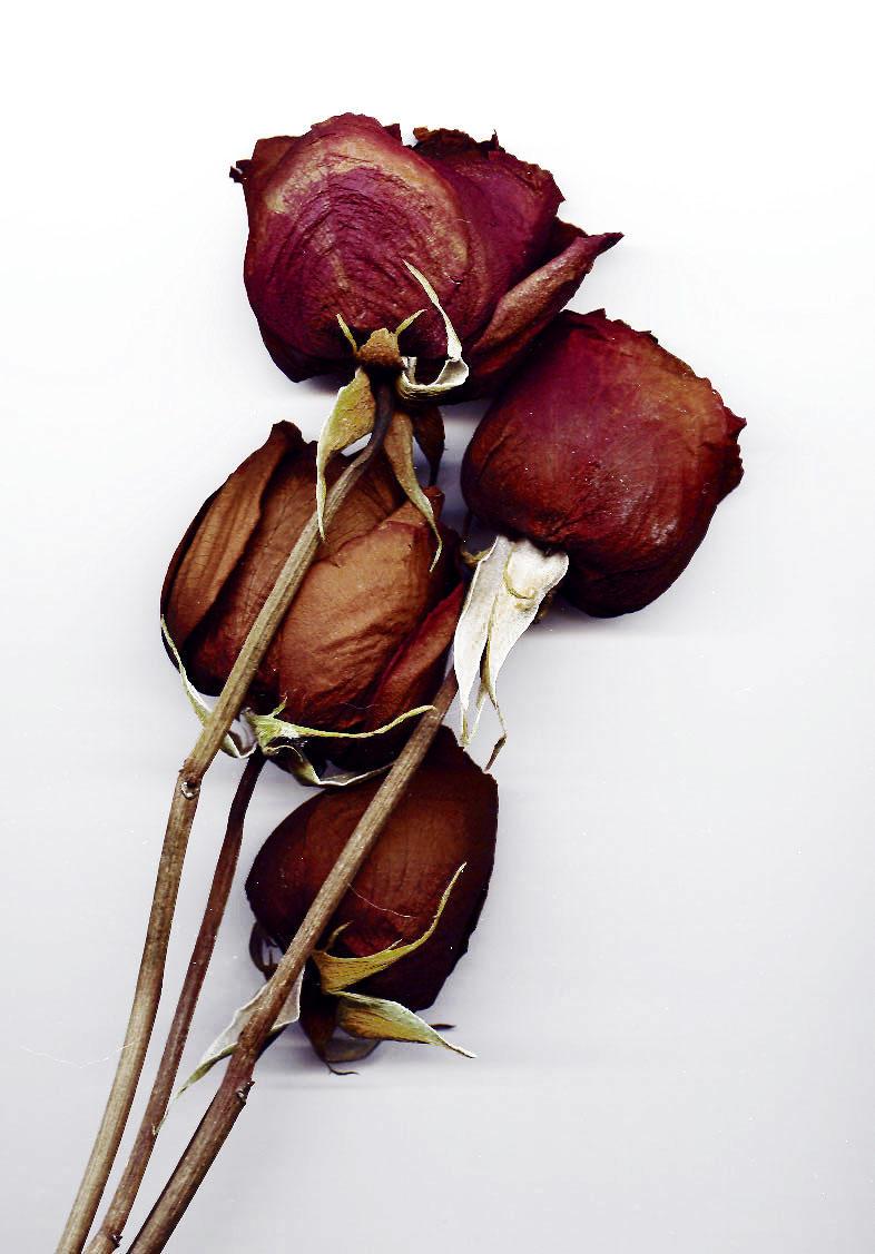 ShadowSTOCKCat Dead Roses by ShadowSTOCKCat