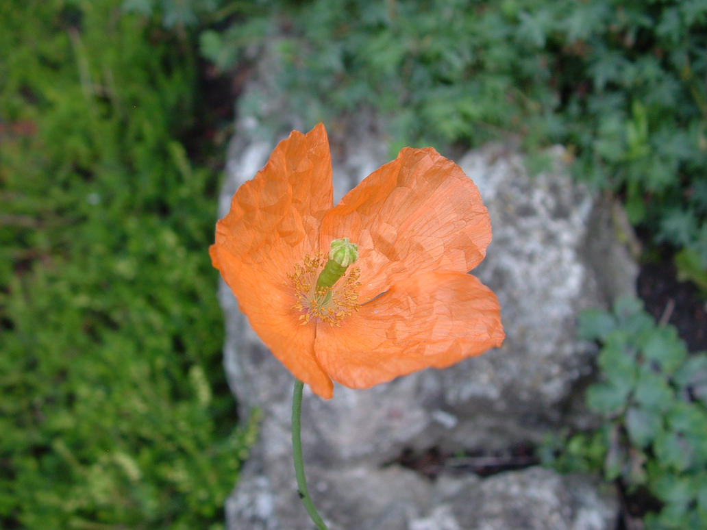 Orange flower by noirin