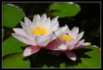 the lotus 2 by echengshi